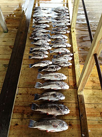 Fishing reports 2013 lewes charter boat fishing rates in for Fishing charters lewes de